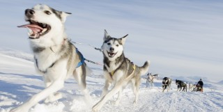 Bjorkliden Snow Dogs