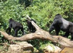 Gorillas by The Segals (1)