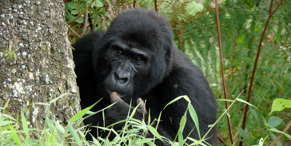 Gorillas by The Segals (2)