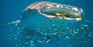 Whale-Shark-Diving