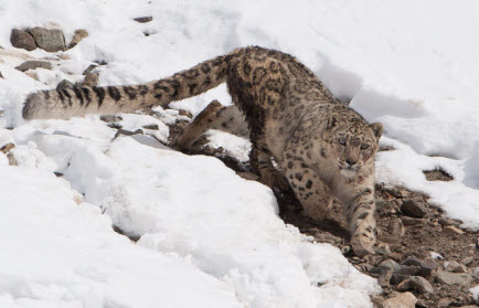 Mantis Extreme Tigers and snow leopards